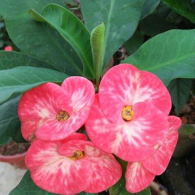 Bunga Mem 13 Tahun Dalam Kenangan