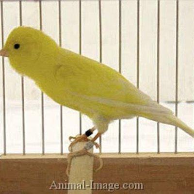 Burung Kenari London