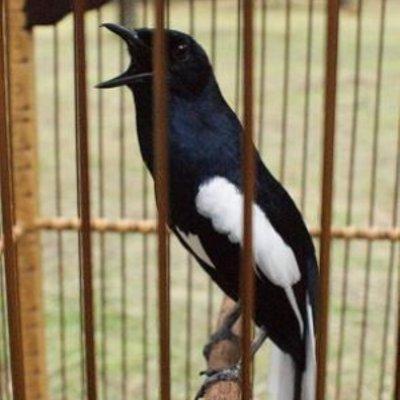 Cara Mengatasi Burung Kacer Yang Tiba Tiba Lumpuh