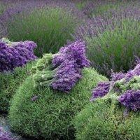 Cara Menuai Lavender