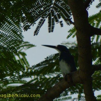 Cekakak Rimba Yang Eksotis Fores Kingfisher