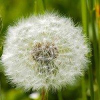 Dandelion Satu Janji Abadi