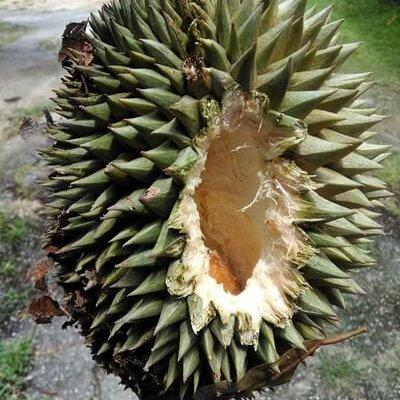 Durian Mahal Tapi Laku