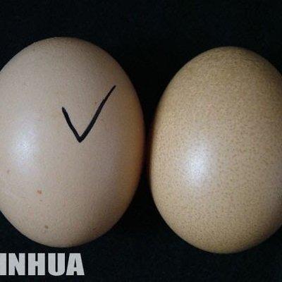 Fakta Menarik Tentang Telur Ayam Tiruan