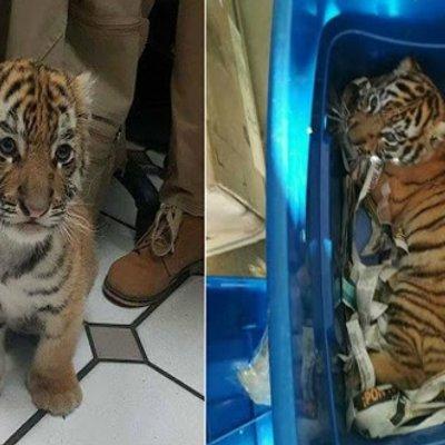 Gambar Anak Harimau Dibungkus Dalam Plastik Dan Hampir Dipos Laju Raih Simpati Netizen