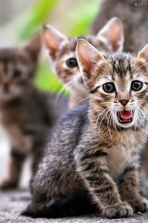 Gambar Kucing Comel Cu...