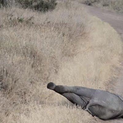 Gelagat Comel Anak Gajah Merajuk Rebahkan Diri Ke Jalan Tarik Perhatian Netizen Seluruh Dunia