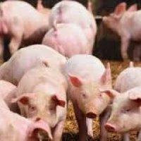 Gempar Babi Digantung Secara Terbuka Di Kilang Tepung Gandum Mana Jakim