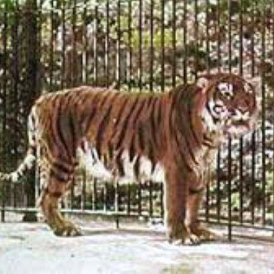 Harimau Bali Sudah Punah Sejak Tahun 1937