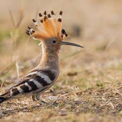 Inilah Burung Hud Hud Yang Diceritakan Dalam Al Quran Burung Yang Tunduk Kepada Kekuasaan Nabi Sulaiman