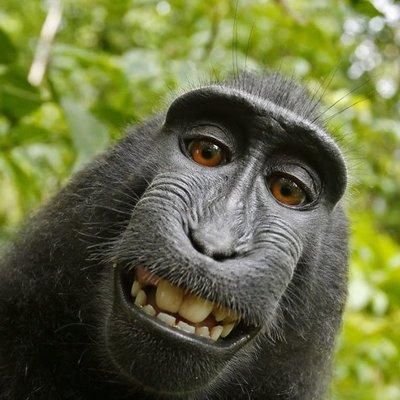 Isu Hak Cipta Swafoto Monyet Senyum Diselesaikan