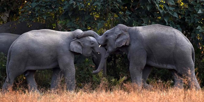 Kawanan Gajah Liar Ganggu Permukiman Warga Di Pidie