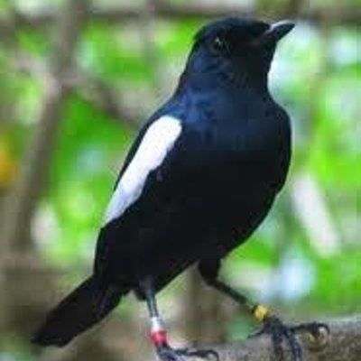 Kenali Habitat Burung Kacer