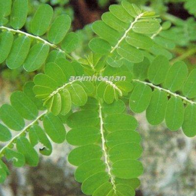 Khasiat Pokok Dokong Anak Sebagai Tumbuhan Herba Yang Tumbuh Liar