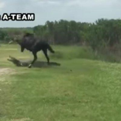 Kuda Nakal Tak Pasal Pasal Pergi Serang Buaya Sedang Berehat Kena Gigit Satu Das