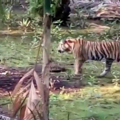 Lama Jadi Buron Persembunyian Harimau Bonita Akhirnya Ditemukan