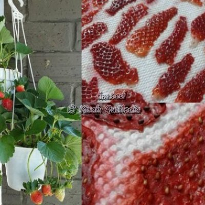 Menarik Cara Mudah Buat Benih Strawberry Tanam Sendiri Di Rumah Tak Payah Pergi Cameron Highlands Lagi