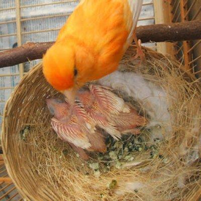 Mengapa Indukan Kenari Tidak Mau Mengerami Telur Telurnya