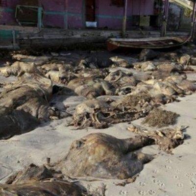 Misteri Ribuan Bangkai Lembu Mati Di Tepi Pantai