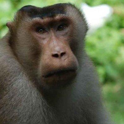Monyet Beruk Serang Bikin Geger Warga Bekasi Dua Satpam Jadi Korban