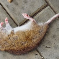 New Rules Limiting The Purchase And Use Of Professional Rodenticide Bait Scotland