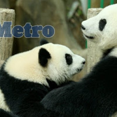 Panda Dari Negara China Akan Dipulangkan Kembali