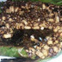 Perghh Menakjubkan Bersahur Dengan Nasi Lemak Lauk Sarang Lebah Bakar