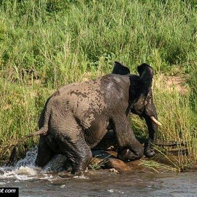 Pertarungan Gajah Dan Buaya Yang Belum Dilihat