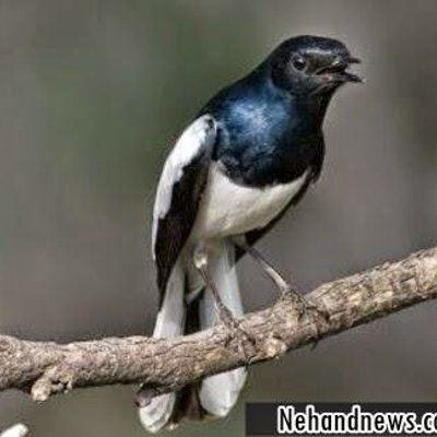 Resep Makanan Burung Kacer Poci Biar Cepat Gacor