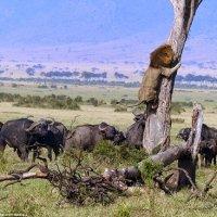 Seekor Singa Ketakutan Dikejar Kerbau Terpaksa Panjat Pokok Untuk Selamatkan Diri