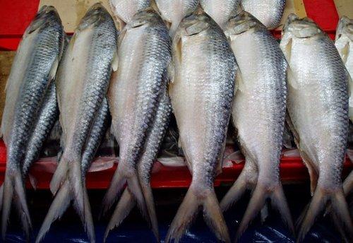Sukar Makan Ikan Terubuk Kerana Duri Tulangnya Dua Petua Ajaib Ini Bantu Makan Lebih Selesa