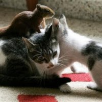 Unik Tupai Menyusu Dengan Ibu Kucing