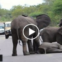 Video Anak Gajah Pengsan Punca Jalan Sesak Di Hutan