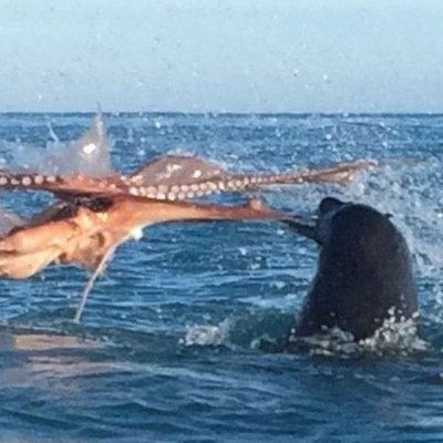 Video Anjing Laut Bertarung Melawan Gurita